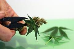 Cortando a marijuana para de secagem apropriado e cura fotografia de stock royalty free