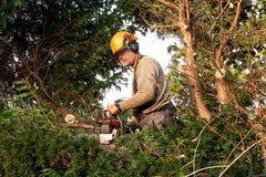 Cortando uma árvore do yew na luz do sol da noite Imagem de Stock Royalty Free