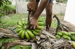 Cortar el tallo del manojo del plátano en manos imagen de archivo libre de regalías