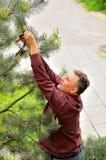 Cortar un árbol de navidad Fotos de archivo