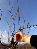 Corte a árvore de fruta foto de stock