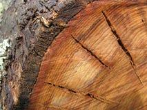 Corte a árvore do eucalipto Foto de Stock