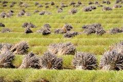 Corte campos do ` s da alfazema com grupos de flores de corte fotografia de stock royalty free