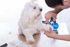 Corte canino del pelo Fotografía de archivo