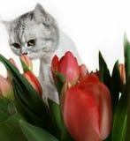 Corte Cat With Red Flowers, ramalhete da tulipa do dia das mulheres, cartão, feriado da estação de mola comemorando Tulip Bouquet fotografia de stock royalty free