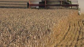 Corte de máquina borroso de la máquina segadora de la granja que golpea el grano maduro de la cebada del centeno del trigo en ver almacen de metraje de vídeo