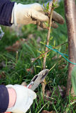 Corte del árbol de melocotón Foto de archivo