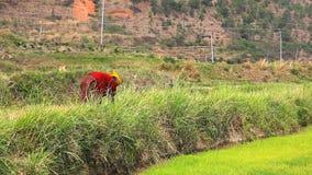 Corte do fazendeiro de Butanese e grama da coleta video estoque