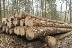Corte e empilhe a madeira do pinho na floresta depois que abatendo a espera a ser transportada Fotos de Stock Royalty Free