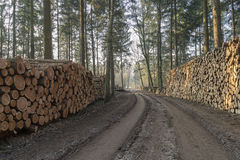 Corte e empilhe a madeira do pinho na floresta verde Fotografia de Stock Royalty Free