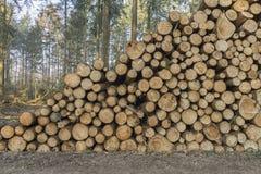 Corte e empilhe a madeira do pinho na floresta verde Foto de Stock