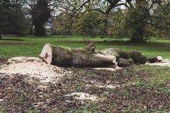 Corte el árbol caido en la tierra Imagenes de archivo
