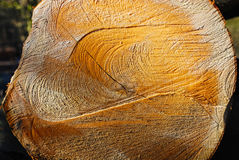 Corte el árbol con los anillos visibles de la edad y corte las marcas Imagen de archivo