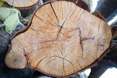 Corte el árbol de pino Foto de archivo