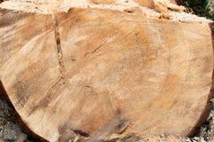 Corte el árbol de pino grande Ciérrese encima de la visión Imágenes de archivo libres de regalías