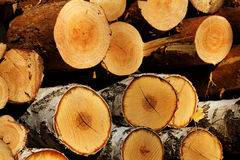 Corte el abedul del pino del árbol Foto de archivo libre de regalías