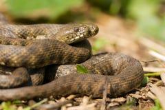 Corte el tessellata del Natrix en cuadritos de la serpiente en República Checa foto de archivo