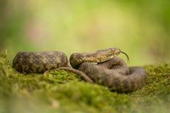Corte el tessellata del Natrix en cuadritos de la serpiente en Rep?blica Checa imágenes de archivo libres de regalías
