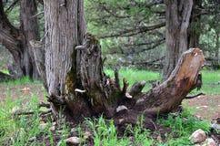 Corte el tronco de árbol Fotos de archivo libres de regalías