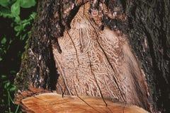Corte el tronco de árbol comido por las termitas foto de archivo