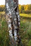Corte el tronco de un abedul Foto de archivo libre de regalías
