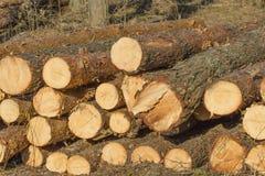 Corte el tronco del abedul; árbol derribado Imagen de archivo