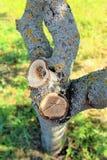 Corte exacto de la sierra del cerezo viejo en el jardín imágenes de archivo libres de regalías