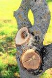 Corte exacto de la sierra del cerezo viejo en el jardín imagenes de archivo