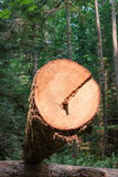 Corte a extremidade da floresta do início de uma sessão Imagem de Stock