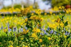 Corte a folha Groundsel, Texas Wildflower amarelo brilhante fotografia de stock