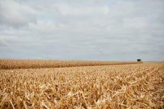Corte hastes do milho ou stubble durante a colheita fotos de stock royalty free