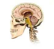 Corte humano del cráneo, con todos los detalles del cerebro, cara mediados de-sagital v Fotos de archivo libres de regalías