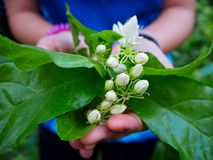Corte Jasmine In o jardim fotos de stock
