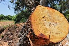 Corte la textura del anillo del tronco de árbol Fotos de archivo