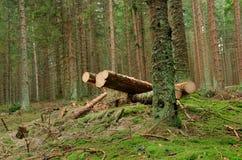 Corte los árboles en bosque Fotos de archivo libres de regalías