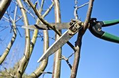 Corte o ramo de árvore da maçã da ameixa seca na mola com ferramenta das tesouras Fotografia de Stock Royalty Free