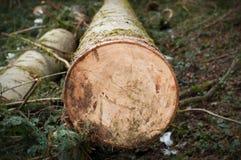 Corte o tronco de árvore na floresta na mola adiantada imagem de stock royalty free