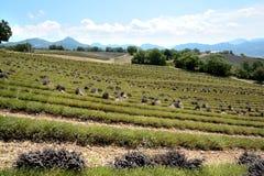 Corte os campos do ` s da alfazema, grupos de flores de corte fotos de stock