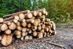 Corte recentemente os logs empilhados na floresta que registra, desflorestamento do pinho, questões meio-ambientais imagem de stock royalty free