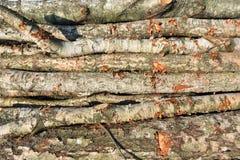 Corte recientemente los registros del abedul del pino foto de archivo libre de regalías
