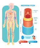 Corte transversal anatómico del ejemplo del vector de la vena media Esquema del diagrama del vaso sanguíneo del sistema circulato ilustración del vector