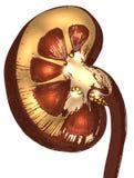 Corte transversal de la haba de riñón del Grunge Foto de archivo