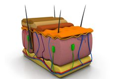 Corte transversal de la piel Fotos de archivo