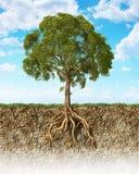 Corte transversal de suelo que muestra un árbol con sus raíces. Imagen de archivo