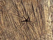 Corte transversal de un árbol fotografía de archivo libre de regalías