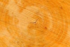 Corte transversal del árbol con los anillos anuales Foto de archivo libre de regalías