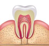 Corte transversal del diente stock de ilustración