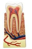 Corte transversal del diente Fotografía de archivo libre de regalías