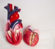 Corte transversal del modelo aislado de un corazón humano interno Fotos de archivo
