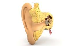 corte transversal del oído Imágenes de archivo libres de regalías